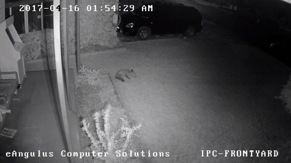 Life is like a Fox of Chocolates - Security camera footage of a fox